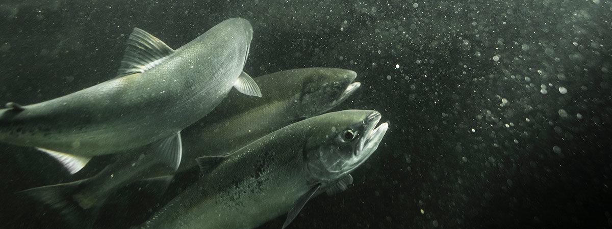 Salmon at the Ballard Locks in Seattle