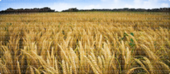 field of wheat photo credit: Cold Spring Harbor Laboratory