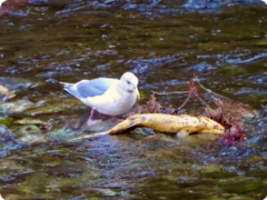 seagull in river with dead salmon